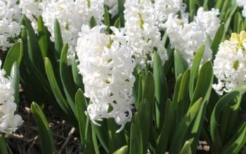 Aiolos hyacint