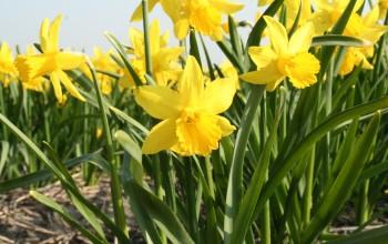 Daffodill Februari Gold