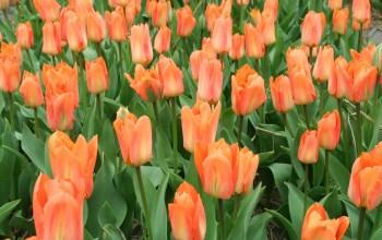 Tulp Oranje Emperor