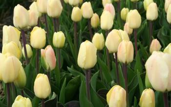 Tulip Vanilla Cream